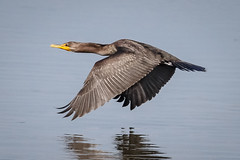 Double Crested Cormorant (tresed47) Tags: 2017 201708aug 20170810newjerseybirds august birds canon7d content cormorant folder newjersey peterscamera petersphotos places season summer takenby us ngc