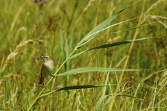 _DSC8498 - Sedge Warbler (steve R J) Tags: sedge warbler strumpshaw fen norfolk birds british