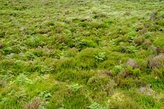Ferns and heather on Diamond Hill (Inklaar) Tags: connemara connacht countygalway inklaar:see=all diamondhill ierland republiekierland binnghuaire conamara connaught contaenagaillimhe cúigechonnacht ireland poblachtnahéireann republicofireland éire ie
