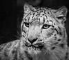 Snow Leopard Black n White (amcgdesigns) Tags: andrewmcgavin animalsandbirds animal leopard snowleopard eos7dmk2 canon100400mm silverefex blackandwhite monochrome highlandwildlifepark kincraig eyes scotland flickrbigcats