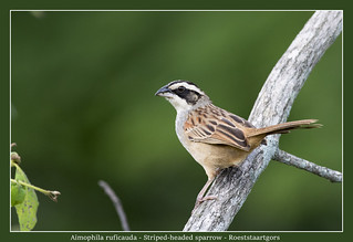 Striped-headed sparrow