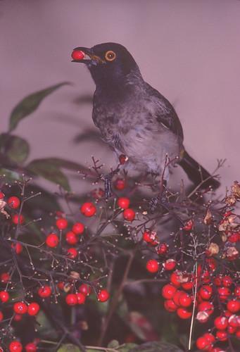 African Red-eyed Bulbul eating Nandina berries, 3599