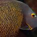 Bonaire 09.08.2017 - 02 French Angelfish