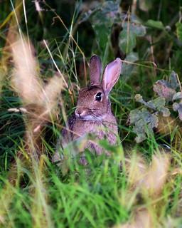 Rabbit Kitten