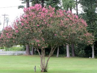 Crape Myrtle Tree.
