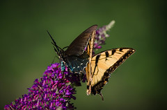 Why can't we live together in peace and harmony? (knoxnc) Tags: butterflybush butterflies summer peace nikon d5100 togetherness harmony sunlight closeup nature workingtogether bokeh specanimal