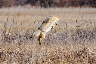 Coyote - Hunting Vole[Explored]