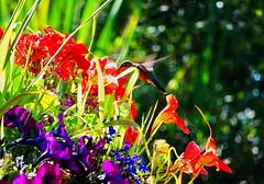 Hummingbird enjoying our dock flowers (peggyhr) Tags: peggyhr hummingbird flowers nasturtiums geraniums petunias lobelia bokeh sunlight dsc06979ab bluebirdestates alberta canada carolinasfarmfriends groupecharliel1