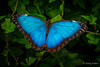 Blued to the hedge (JKmedia) Tags: blue morpho butterfly insect colourful macro closeup morphomenelaus 15challengeswinner
