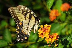 Female Eastern tiger swallowtail (Jim Atkins Sr) Tags: butterfly easterntigerswallowtail papilioglaucus lantana closeup sony sonya58 sonyphotographing flower fairfieldharbour northcarolina