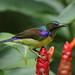 Anthreptes malacensis (Brown-throated Sunbird) - Singapore. (Nick Dean1) Tags: anthreptesmalacensis sunbird brownthroatedsunbird singapore pasirrispark animalia aves thewonderfulworldofbirds birdperfect birdwatcher bird