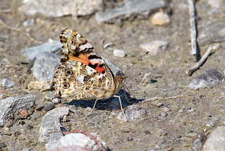 Painted Lady - Wings Up