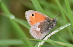 Eyes. (pstone646) Tags: butterfly insect nature wildlife fauna green closeup meadowbrown animal grass