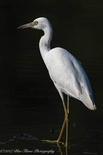 Little Blue Heron (juvenile) ©