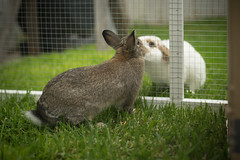 DSC05486 (Twinmama) Tags: rabbit bunny bunnies rabbits