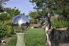 The Everlasting Gaze (houndstooth4) Tags: dog greyhound flattery odc ddc dogchal 3252 52weeksfordogs
