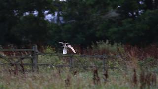 Kestrel mugging a Barn Owl