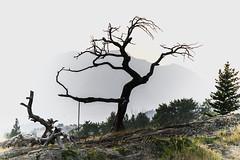 Burmis Tree (LavenderMillie) Tags: burmis tree crowsnestpass alberta limberpine heritage beautiful
