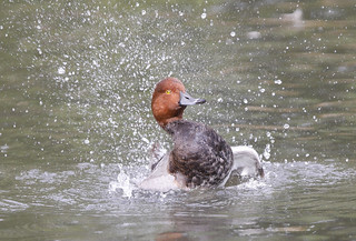 POCHARD....Bath time....Look on large.