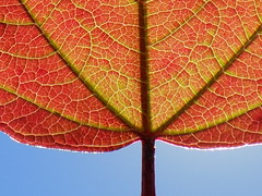 Macro Red Leaf (rachael242) Tags: sun sunshine sky leaf leaves red viens stem blue nature shine bright tree macro close up minimal abstract