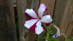 WP_20170920_020 (PureView Life) Tags: nokia lumia 1520 nokialumia nokialumia1520 lumia1520 pureview carlzeiss wp wp81 windowsphone windowsphone81 color flower nature