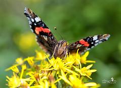 Admiral (Schneeglöckchen-Photographie) Tags: admiral butterfly schmetterling macro durst wiese