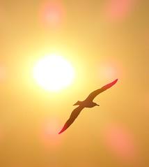Gabbiano al tramonto - Ischia (sgherrim) Tags: gabbiano tramonto oro dorato ali ischia