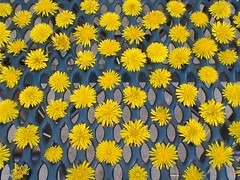 dandelions (kittys_photos) Tags: dandelions dandelion collection yellow flower weed