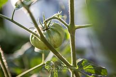 222/365 : Tomato
