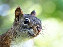 Red Squirrel (LupaImages) Tags: squirrel red critter furry nose eyes whiskers nature wild wildlife animal