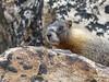 P1230710 (archaeologist_d) Tags: rockymountainnationalpark colorado estespark oldfallriverroad marmots
