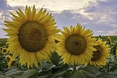 _LCH6760 kansas sunflowers (snolic...linda) Tags: kansas lawrencekansas sunflowers sunrise