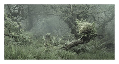 Safe Passage (www.neilburnell.com) Tags: wood woodland dartmoor moss trees mist chaos rocks twobridges neil burnell wwwneilburnellcom ngc forest landscape grass tree wistmans