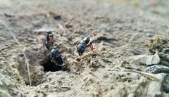 20170829_171205 (2) (muhammadshahzaib2) Tags: ants closeup macro insects hymenoptera nature c coworking