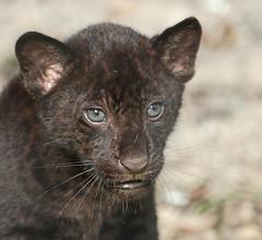 jaguarcub artis BB2A5503 (j.a.kok) Tags: jaguar cub welp jaguarwelp blackjaguar zwartejaguar kat cat mammal zoogdier dier animal southamerica zuidamerika artis