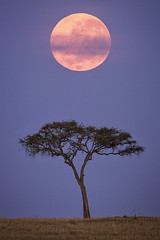 Serengeti Moonset (Stephen Oachs (ApertureAcademy.com)) Tags: