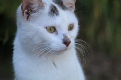 something to see , but what ? (excellentzebu1050) Tags: pet cat kitten animal animalportraits closeup farm coth5