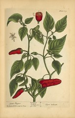 "Guinea pepper =: Piper indicum (National Library of Medicine - History of Medicine) Tags: ""bookillustrations"" ""pictorialworks"" ""thenationallibraryofmedicine"" herbal flower fruit seeds pepper plant imagesfromthehistoryofmedicine ihm freeonlineresource visualmedia fineart photographs engravings posters ""socialandhistoricalaspectsofmedicine"" ""digitalcollections"""" ""biomedicalresources ""books videos maps"