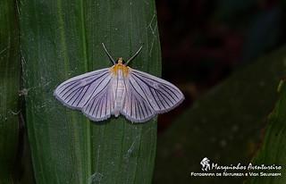 Mariposa - Crambidae?