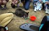 IMG_2469 (kz1000ps) Tags: boston massachusetts bostoncommon common park cats kitties kittens felines caturday purr catcafe brighton humane society adoptions