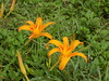 Taiwan day 2 - day lily blooms @ Mt. Lioushidan (just me julie) Tags: taiwan flora flowers flower fauna simplyflowers tawain