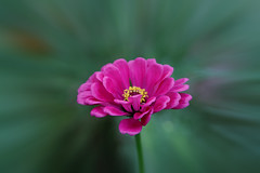 Pink Zinnia (Johnnie Shene Photography) Tags: zinnia pink flora floral flower flowering plant highangle nature natural wild wildlife livingorganism tranquility adjustment interesting awe wonder fulllength depthoffield bokeh vivid sharpness beautiful petal corolla stamen chrysanthemum zinniaelegans elegance delicate perfume gorgeous fabulous stunning stockphoto photography horizontal outdoor colourimage fragility freshness nopeople foregroundfocus peace yellow green summer day daylight round circle single one distorted canon eos80d 80d tamron 90mm f28 11 macro lens 백일홍 국화 꽃 여름 낮