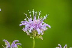 _U7A7578 (rpealit) Tags: scenery wildlife nature kittatinny valley state park wild bergamot monarda pink flower