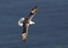 Fulmar BC 19th June 2017 (Nigel B2010) Tags: fulmar sea coast cliffs coastal flight nature wildlife bempton yorkshire uk blue reserve rspb spring june 2017
