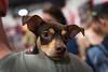 Bay Area Pet Fair #puppies#cutepugs#nikond750#nikon2470mm (shouyuliu) Tags: puppies cutepugs nikond750 nikon2470mm