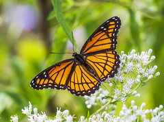Viceroy (Bernie Kasper (2,000,000 views)) Tags: art berniekasper butterfly butterflies c d600 family flower floral flowers green hiking indiana indianawildflowers indianabutterflies jeffersoncounty light leaf leaves madisonindiana macro nature nikon naturephotography new outdoors outdoor old outside insect insects photography plant red redadmiral summer sigma travel trail wildflower wildflowers