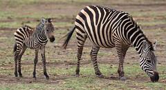 Big Stripes And Small Stripes (AnyMotion) Tags: plainszebra steppenzebra equusquagga mother mutter foal fohlen 2015 anymotion lakemanyaranationalpark tanzania tansania africa afrika travel reisen animal animals tiere nature natur wildlife 7d2 canoneos7dmarkii ngc npc