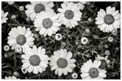 Friday Daisies (Daniela 59) Tags: 7dwf 7dayswithflickr fridaythemeflora flower daisy chrysanthemum plant nature blackandwhite danielaruppel
