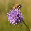 Dronefly on Devil's-bit (Wim Zoeteman) Tags: blindebij eristalistenax dronefly zweefvlieg hoverfly blauweknoop succisapratensis devilsbit