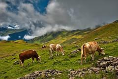 Swiss summer time , Feld (2,130 m ) Above Grindelwald. No. 8540. (Izakigur) Tags: cows feld bussalp grindelwald climbeverymountain berneroberland kantonbern nikon d700 nikond700 nikkor2470f28 switzerland svizzera lasuisse lepetitprince thelittleprince ilpiccoloprincipe helvetia liberty izakigur flickr feel europe europa dieschweiz ch musictomyeyes nikkor suiza suisse suisia schweiz suizo swiss سويسرا laventuresuisse myswitzerland landscape alps alpes alpen schwyz suïssa cow agriculture vaca